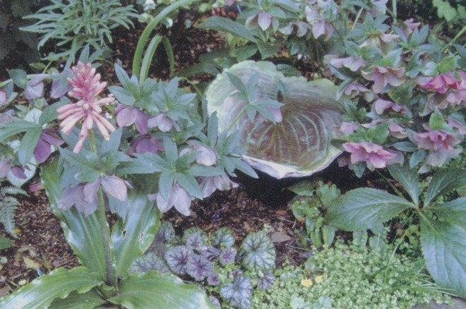 A Little and Lewis hosta leaf echoes the colors of hellebores (Helleborus x hybridus), Veltheimia bracteata, and Heuchera 'Dale's Strain' at midwinter in the shade garden. Author's photograph