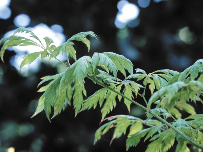Cut-leaf foliage of Acer circinatum 'Monroe'.  Photographs by Richie Steffen, except as noted