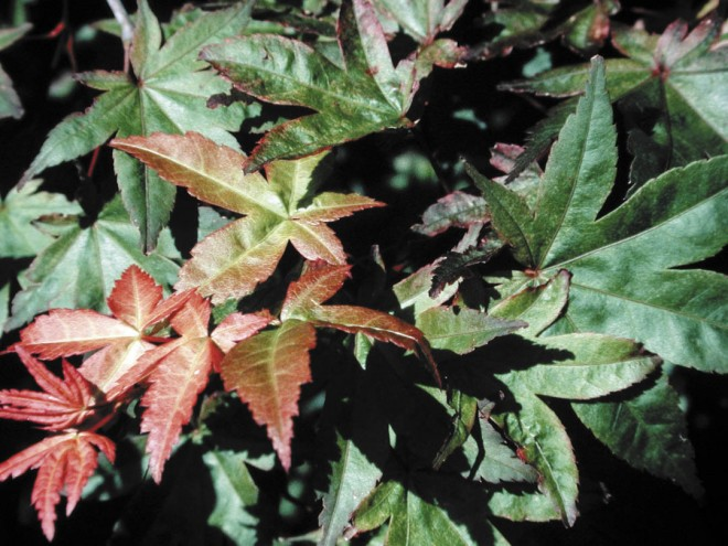 Foliage of Acer palmatum 'Shindeshôjô'.  Photograph by Harry C Olsen Jr