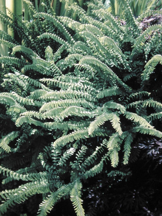 Western maidenhair fern (Adiantum aleuticum).  Photograph by Sue Olsen
