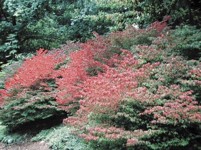 Compact burning bush (Euonymus alatus 'Compactus')