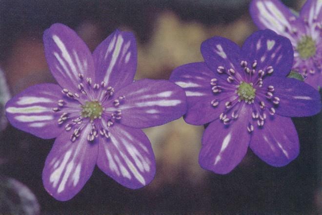 The simplest flower shape of Hepatica nobilis var. japonica is one called Hyoujunka