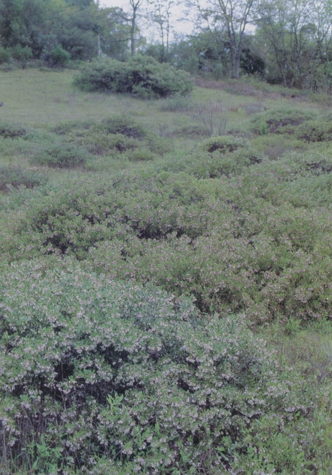 Low mounds of Vine Hill manzanita (Arctostaphylos densiflora) at the Vine Hill Preserve in Sonoma County, California, the last remaining population of this species in the wild. Author'sphotograph