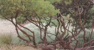 A planting of Arctostaphylos 'Howard McMinn' that has been pruned up to reveal the smooth mahagony trunks. Photograph by Saxon Holt