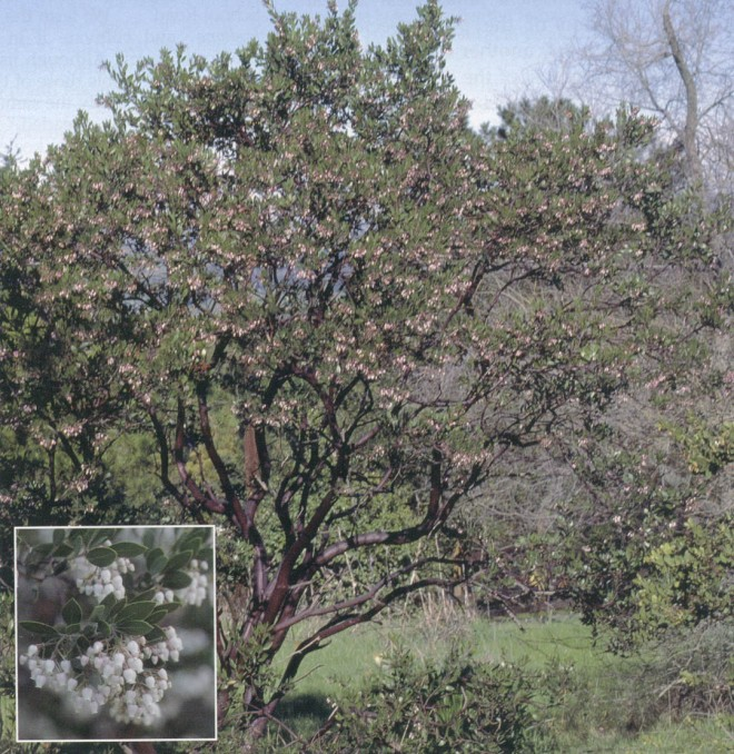 A mature plant of Arctostaphylos 'Sentinel' in Leo Brewer's Orinda garden. Inset: Flowers of Arctostaphylos 'Sentinel'. Photographs by Bart O'Brien