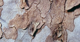 Bark of smooth-barked apple (Angophora costata). Photographs by Don Walker