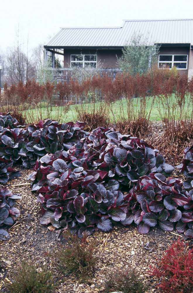 Bergenia and grasses provide winter interest in the gardens at the Center for Urban Horticulture, Seattle