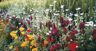Rows of California poppies, crimson clover, ox-eye daisy, and oil-seed rape march up a bank in the Bonterra Organic Wine Garden at the Chelsea Flower Show. Author's photographs