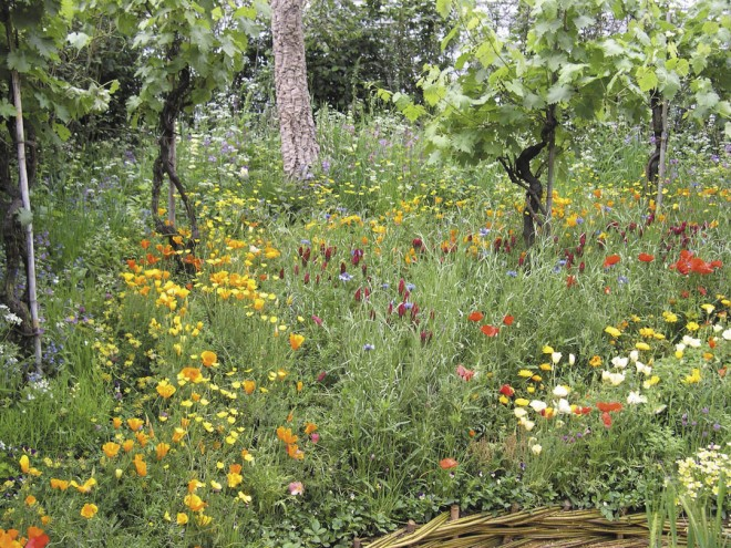 Mature grape vines punctuate a flowery slope of cover crops