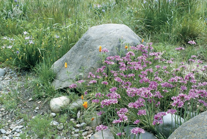 The pink flowers of Allium unifolium highlight a native garden featuring a variety of California monocots, including irises, grasses, and sedges. Photograph by Saxon Holt