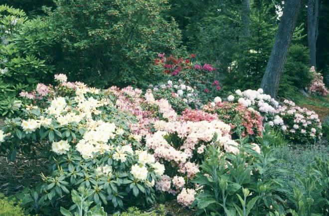 A selection of rhododendrons in the Meerkerk Hybrid Test Garden. Photograph courtesy Meerkerk Rhodododendron Gardens