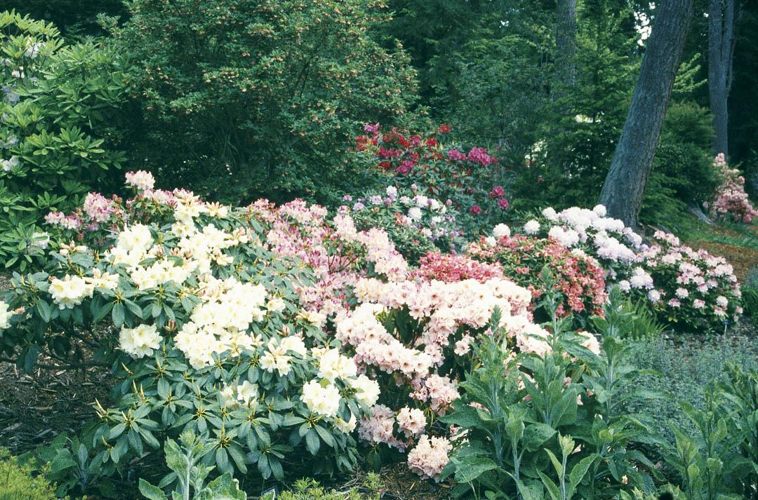 Pacific Horticulture Society | Meerkerk Rhododendron Gardens: Test ...