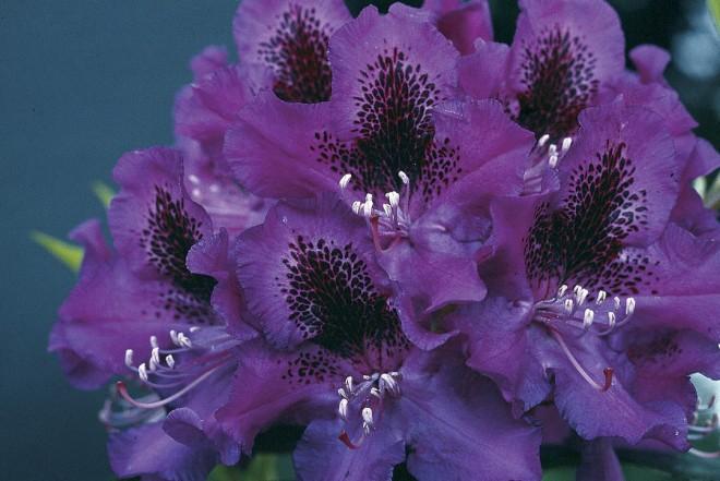 Rhododendron 'Blue Boy' ('Blue Ensign' x 'Purple Splendor'), bred by Elsie Watson. Photograph by  Elsie Watson