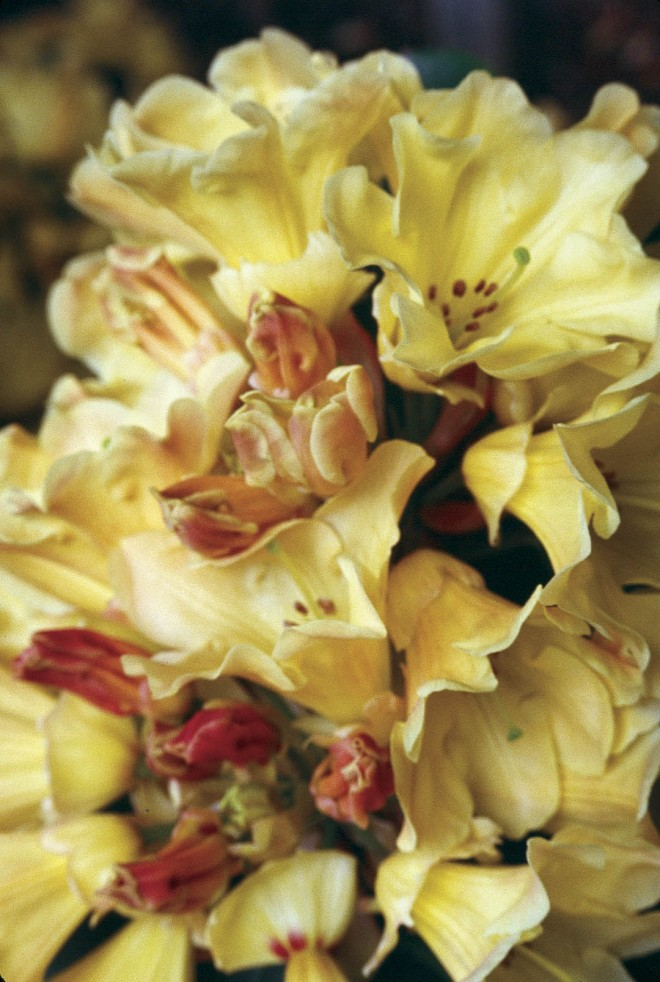 Rhododendron 'Nancy Evans', bred by Ned Brockenbrough. Photograph by Jim Barlup