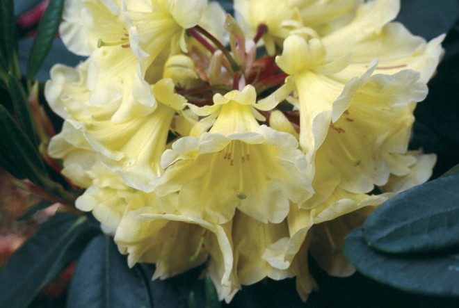 Rhododendron 'Mindy's Lov', bred by Jim Barlup. Photograph by Jim Barlup