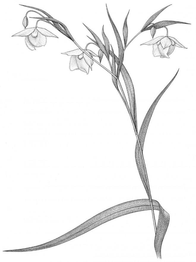 Golden  globe lily  (Calochortus  amabilis).  Drawing by  Kristin Jakob