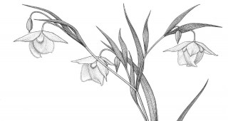 Golden  globe lily  (Calochortus  amabilis).  Drawing by  Kristin Jakob