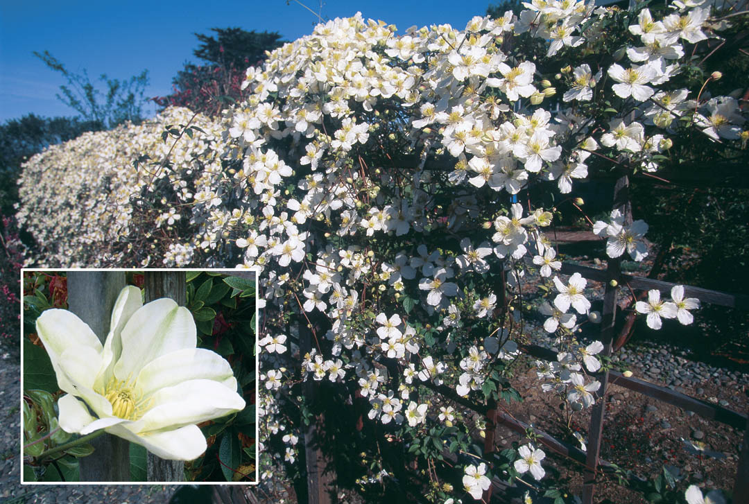 Pacific horticulture society clematis by the seaside a fence clothed in the white flowers of clematis montana grandiflora mightylinksfo