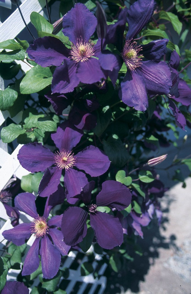 Clematis 'Jackmanii' covers the lattice near the front door.  Photographs by Doug Ploen