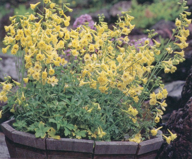 Delphinium luteum in a container in the Fleming garden (see page 28). Photograph by Saxon Holt