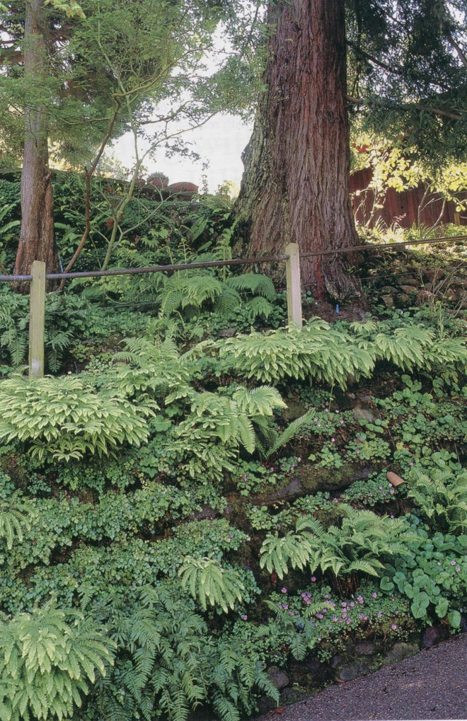 In The Shade Of Coast Redwoods Sequoia Sempervirens Grows A Woodland Garden California
