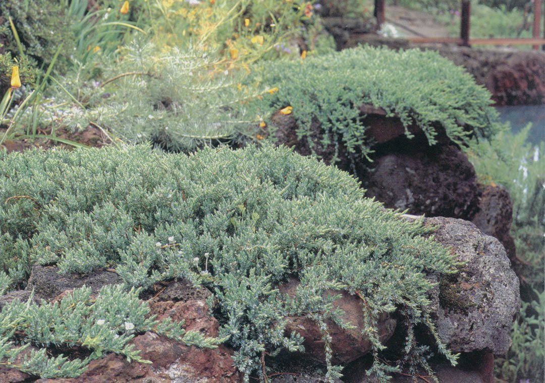 How to plant ground cover on steep bank - Juniperus Communis Var Prostratus Point St George Which Has Disappeared In The