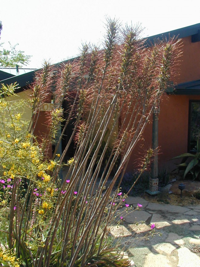 Tall floral spikes of Manfreda undulata sparkle in the sun