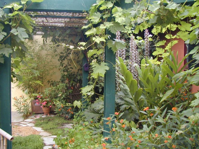 The grape arbor sheltering bear's breech (Acanthus mollis) if full bloom, dramatic foliage of a ginger (Hedychium), and masses of butterfly weed (Asclepias tuberosa)