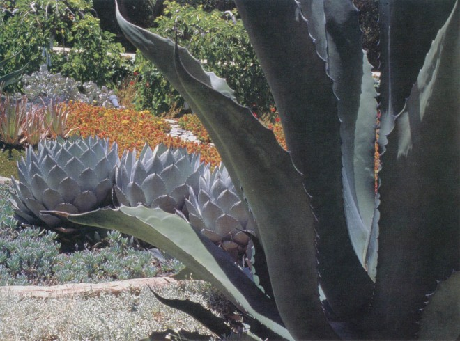 Succulents dominate in the water-conserving landscape of the Valentine garden