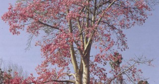Pink floss-silk tree (Ceiba speciosa). Photographs by Don Walker
