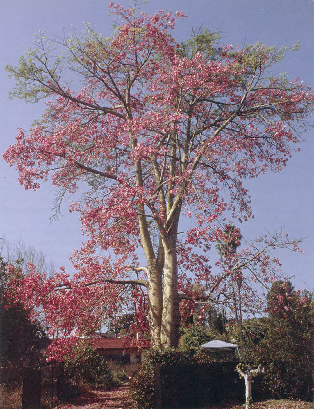 Relatively Pacific Horticulture Society | Trees of San Diego: Floss-Silk Trees OW13