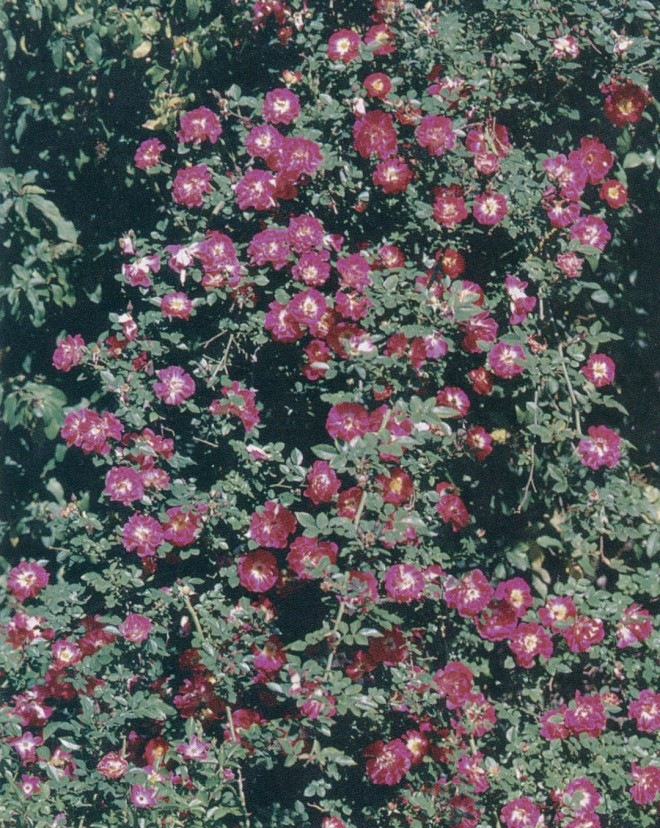 Rosa 'Ralph's Creeper', a low-growing miniature often used as a ground cover