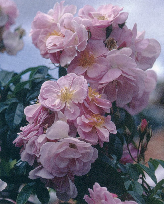 Rosa 'Renae', a climbing polyantha