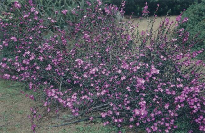 Boronia crenulata 'Rosy Splendor'