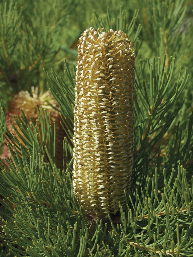 Banksia spinulosa 'Schnapper Point'. Photograph by Patrick Worley