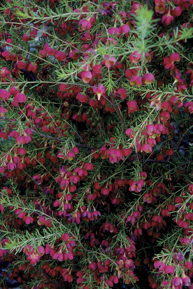 Boronia megastigma 'Jack Maguire's Red', a red-flowered selection of the fragrant brown boronia. Photograph by Patrick Worley