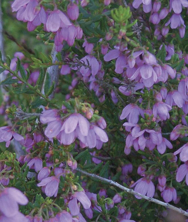 Flowers of Tetratheca ericifolia 'Heathland Gem'. Photograph by Patrick Worley