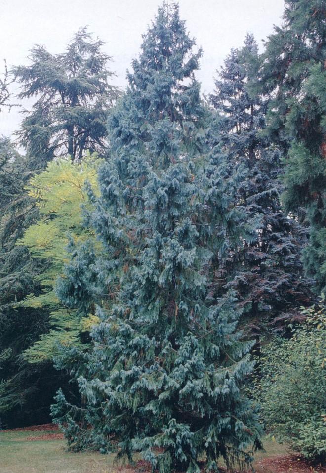 Taiwania cryptomerioides at the Washington  Park Arboretum. Photographs by Joy Spurr, courtesy of the Arboretum Foundation