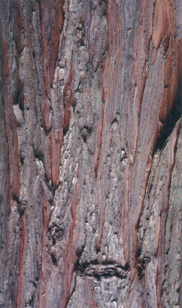 Bark of  Taiwania  cryptomerioides