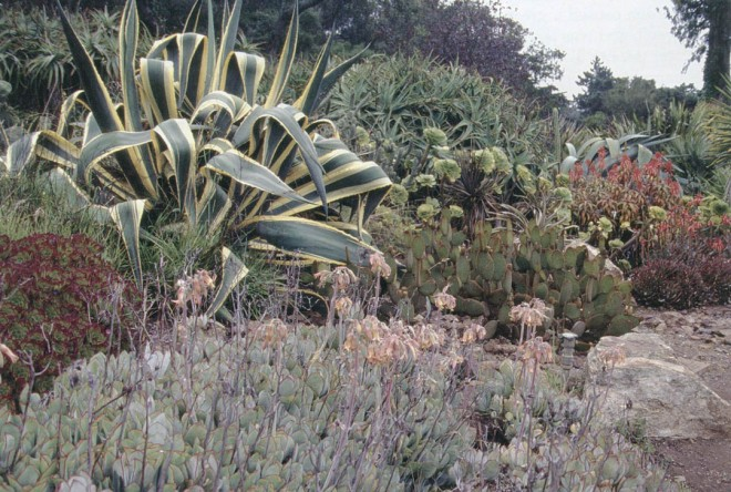 A variegated agave highlights current plantings of aloes, aeoniums, Opuntia, and Cotyledon orbiculata (in the foreground) at the Golden Gate Park Arizona Garden. Photograph by RGT