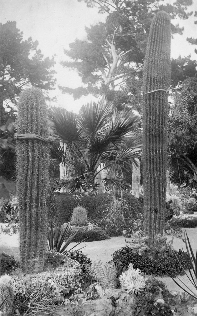 Tall columnar saguaro cactus (Carnegiea gigantea) were a signature of the original Hotel del Monte Arizona Garden in Monterey. Photograph by CWJ Johnson