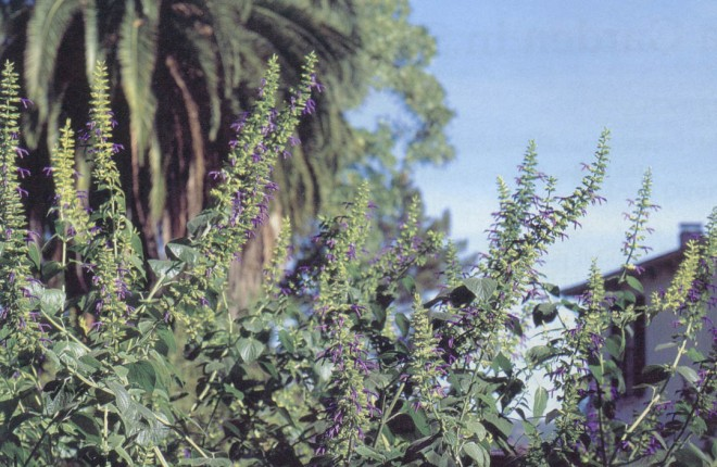 Violet blue Salvia mexicana will flower heavily from September until frost. Photographs by Ginnie Hunt, except as noted