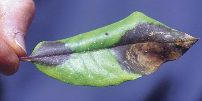 Infected leaves of rhododendron