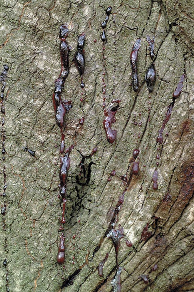 A key symptom of the presence of sudden oak death is the oozing or bleeding trunk on this oak