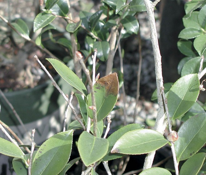 Infected leaves and stems of camellia