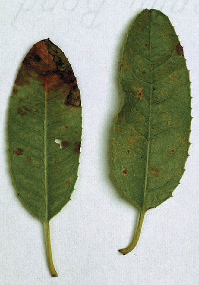 Infected leaves of toyon (Heteromeles arbutifolia)