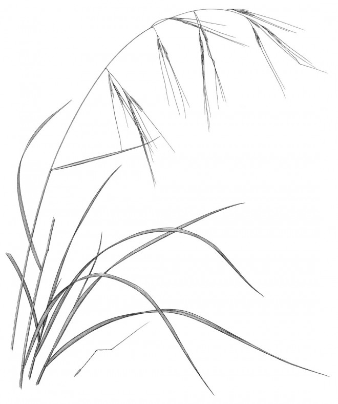 Purple needle grass (Nassella pulchra).  Drawing by Kristin Jakob