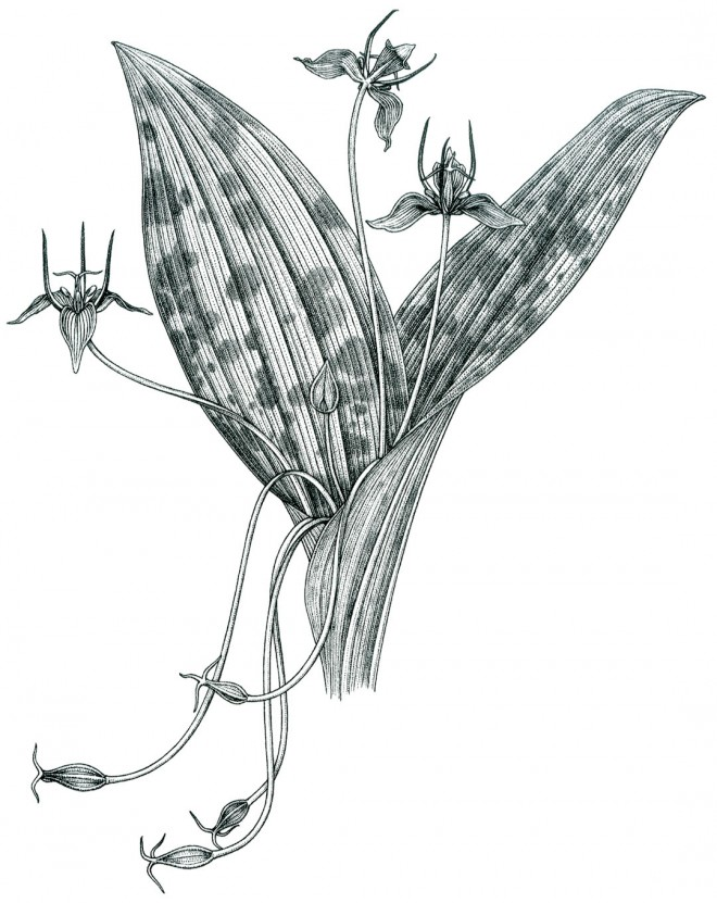 Adder's-tongue or slink-pod (Scoliopus bigelovii). Drawing by Kristen Jakob