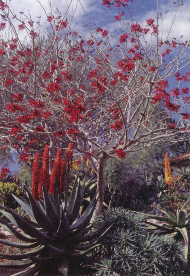 January blossoms on a hybrid coral tree (Erythrina 5 sykesii) echo the colors of Aloe ferox