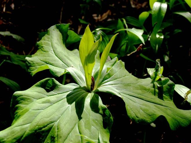 Trillium chloropetalum. Maroon stamens contrast with slender, leaf-green petals.